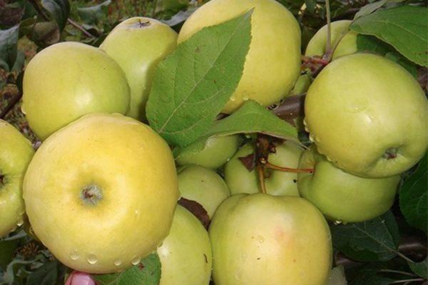 apples34