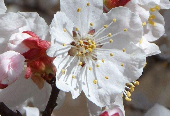 cvetok-abrikosa-1
