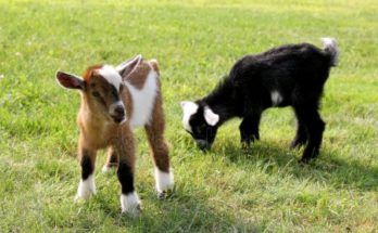 depositphotos_50907085-stock-photo-baby-farm-goats-eating-grass