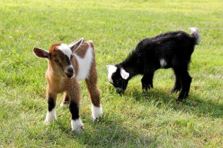 depositphotos_50907085-stock-photo-baby-farm-goats-eating-grass