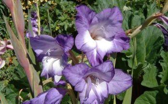 Gladiolus-640x480