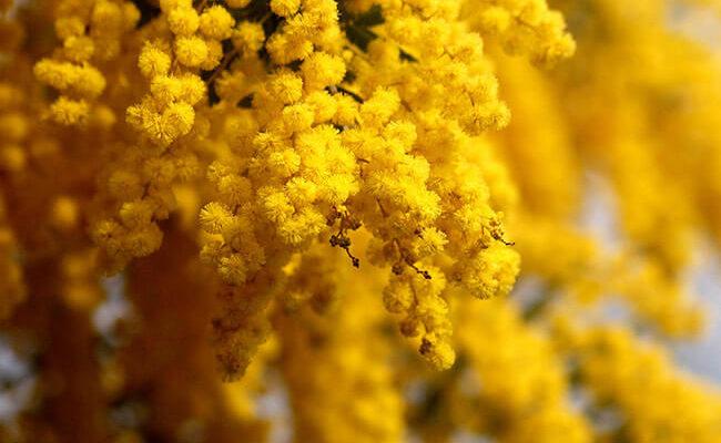 kak-sohranit-mimozu-pushistoj-i-svezhej-doma-v-vaze4