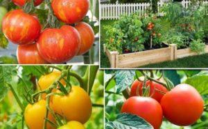 Kak-vybrat-nuzhnyj-sort-tomata-dlya-posadki-1-300x187