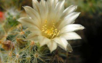 kaktus-cvetenie-500x333