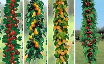 kolonnovidnye-plodovye-derevya-600x441