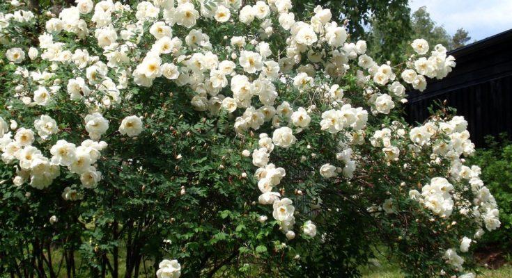 роза-колючейшая_01_1
